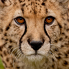 cheetah-head-shot-small.jpg