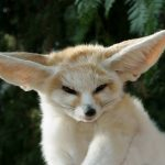 fennec_fox_pet.jpg