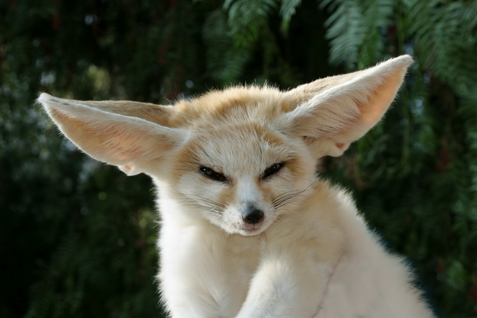 fennec_fox_pet.jpg